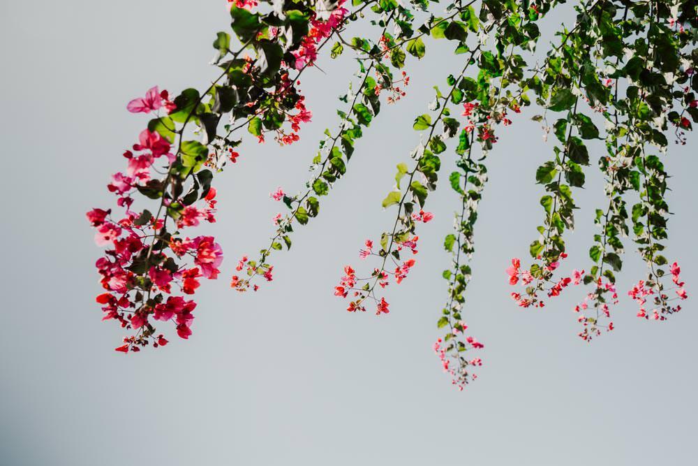 tipico bouganville fiori